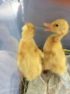 Sundance Ducks Snorlax and Ponyo
