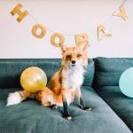Happy Gotcha Day, Foxtail!